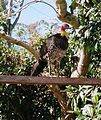 Brush-Turkey-at-Mount-Nebo - 2.JPG