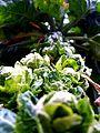 Brussel's Sprout -- - Choux d'Bruxelles - -- contre plongée.JPG