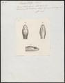 Bucephalus typus - kop - 1837 - Print - Iconographia Zoologica - Special Collections University of Amsterdam - UBA01 IZ12000147.tif