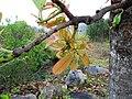 Buchanania axillaris (Cuddapah Almond) 05.jpg