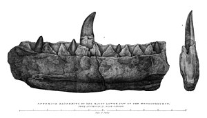 "Megalosaurus - Lithography from William Buckland's ""Notice on the Megalosaurus or great Fossil Lizard of Stonesfield"", 1824. Caption reads ""anterior extremity of the right lower jaw of the Megalosaurus from Stonesfield near Oxford""."