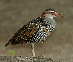 Buff-banded rail - Image: Buff banded Rail LEI Jan 08