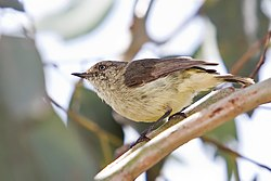 Buff-rumped Thornbill.jpg