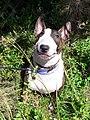 Bull Terrier Chico 08.jpg