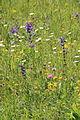Bunte Flora am Hondinger Zisiberg 02.JPG