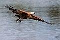 Busarellus nigricollis -Miranda River, Mato Grosso do Sul, Brazil -flying-8 (3).jpg
