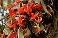 Butea monosperma (Dhak) flowers & fruits W2 IMG 7495.jpg