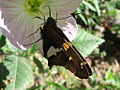 Butterfly Having Breakfast (167702541).jpg