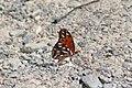 Butterflyb (247402852).jpg