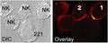 Cél NK sinapsis inmunes inhibidoras y activadoras.png