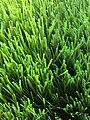 Cỏ nhân tạo sân bóng Grass F08.jpg