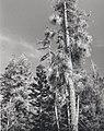C.1984. Dwarf mistletoe. (40048853080).jpg
