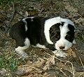 CAO puppy.JPG