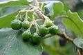 CBN Solanum vespertilio doramae 2015-07-01 CP 4.jpg
