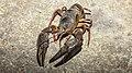 CH.ZG.Unterägeri 2009-08-01 river crayfish 29 16x9-R 5120x2880.jpg