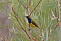 CSIRO ScienceImage 10364 Yellowbellied Sunbird Mossman Queensland.jpg