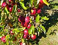 CSIRO ScienceImage 11279 Apples on tree.jpg