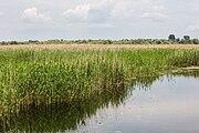 Cañas (Phragmites australis), Delta del Danubio, Rumanía, 2016-05-28, DD 23.jpg