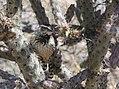 Cactus Wren (33791415881).jpg