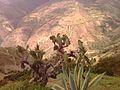 Cactus de montaña.jpg