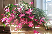 Cultivar belonging to the Schlumbergera Truncata Group