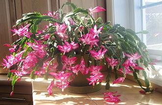 Schlumbergera - Cultivar belonging to the Schlumbergera Truncata Group