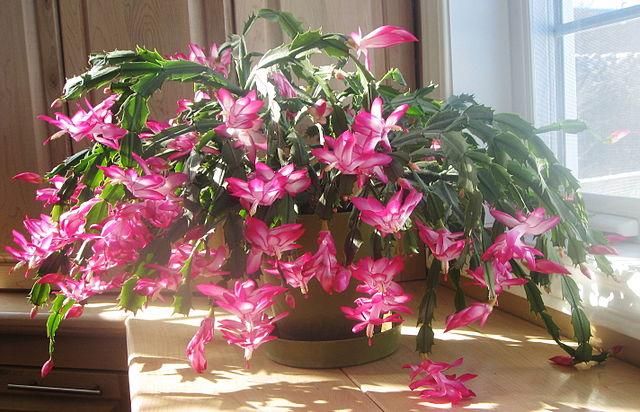 Obľúbený vianočný kaktus