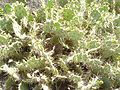 Cactus in Fuerteventura (3500858236).jpg