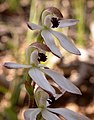 Caladenia cucullata (5094568123) - cropped.jpg