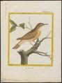 Calamodyta arundinacea - 1700-1880 - Print - Iconographia Zoologica - Special Collections University of Amsterdam - UBA01 IZ16200077.tif