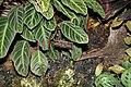 Calathea ecuadoriana Red Zebrina Prayer-Plant Family (3072484691) (3).jpg