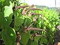 Calicoflower-Dutchmanspipes-Honolulu.JPG