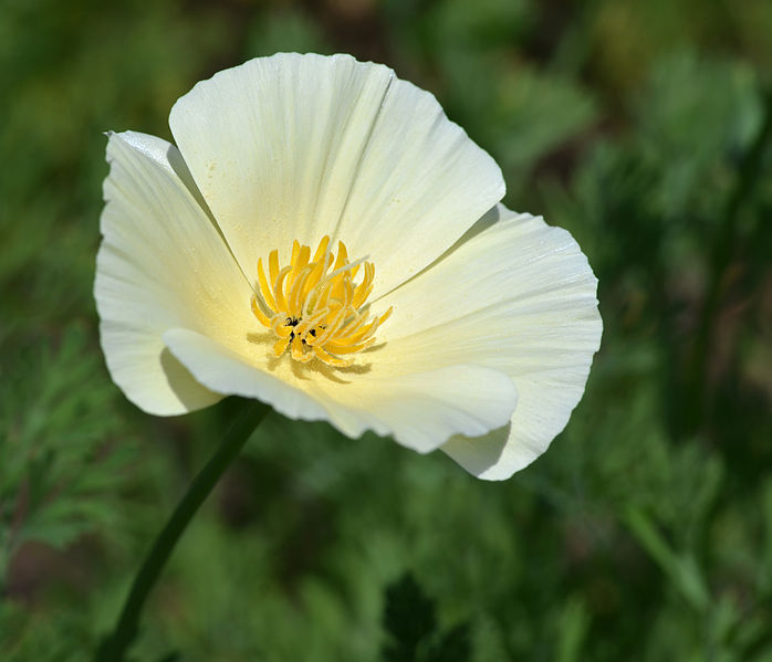 File:California Poppy Eschscholzia californica 'Ivory Castle' Flower.JPG