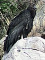 California condor chick -871 near the Devils Gate nest. (38817068994).jpg