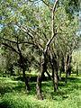 Callistemon lanceolatus at Ilanot arboretum-RJP.jpg