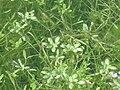 Callitriche brutia Habitus 2011-2-06 DehesaBoyaldePuertollano.jpg
