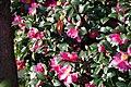 Camellia Sasanqua サザンカ (130801973).jpeg