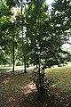 Camellia Sinensis 03.jpg