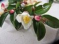 Camellia lutchuensis lutchuensis T.Itô ex T.Itô and Matsum. (AM AK326495-4).jpg