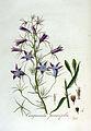 Campanula persicifolia — Flora Batava — Volume v3.jpg