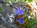 Campanula uniflora Arctic Harebell (1179345443).jpg