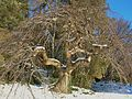 Camperdown Elm at Smith College campus, Northampton, MA - January 2015.jpg