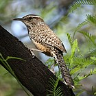 Adult cactus wren perched in a honey mesquite tree