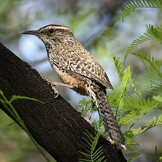 Cactus wren Desert adapted bird found in the southwestern United States and northern Mexico