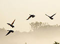 Canada geese staging at Port Louisa NWR (6366886623).jpg