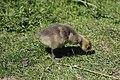 Canada goose - Branta canadensis (41082914745).jpg