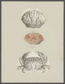 Cancer floridus - - Print - Iconographia Zoologica - Special Collections University of Amsterdam - UBAINV0274 094 14 0039.tif
