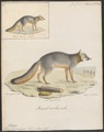 Canis virginianus - 1818-1842 - Print - Iconographia Zoologica - Special Collections University of Amsterdam - UBA01 IZ22200295.tif