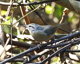 Fawn-breasted wren species of bird
