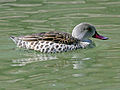 Cape Teal (Anas capensis) RWD1.jpg